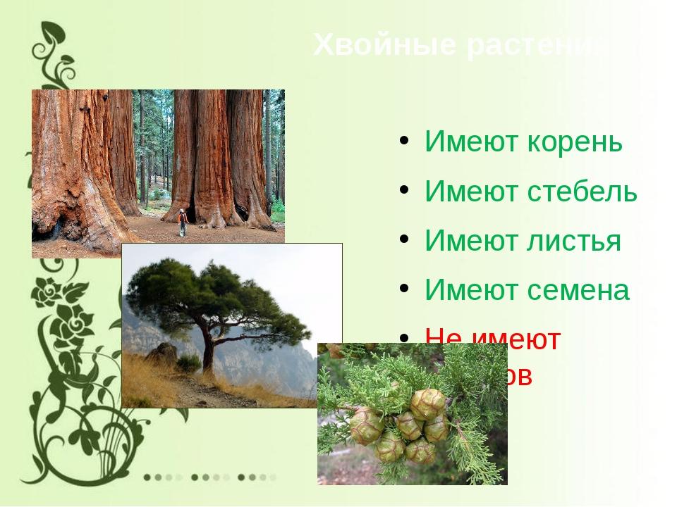 Хвойные растения Имеют корень Имеют стебель Имеют листья Имеют семена Не имею...