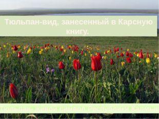 Тюльпан-вид, занесенный в Карсную книгу. Тюльпан- живой символ Республики Кал