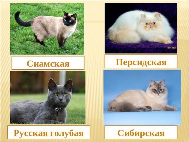 Сиамская Сибирская Русская голубая Персидская
