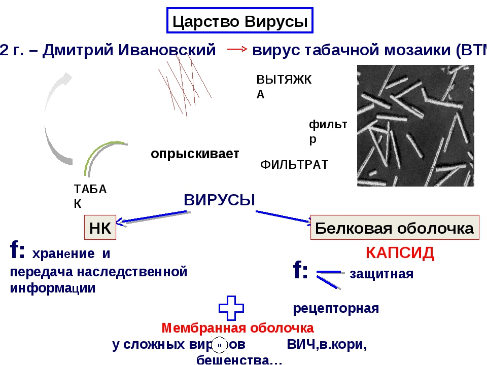 1892 г. – Дмитрий Ивановский вирус табачной мозаики (ВТМ) . . . . . . . . . ....