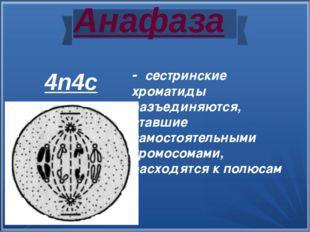 Анафаза - сестринские хроматиды разъединяются, ставшие самостоятельными хромо