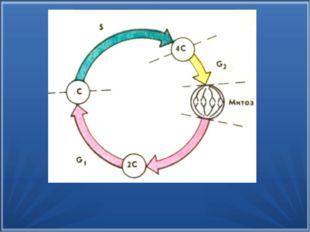 Интерфаза Митоз Митотический цикл