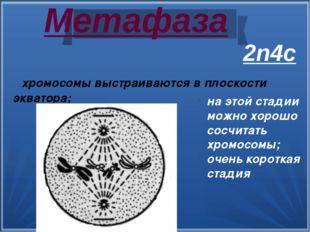 Метафаза - хромосомы выстраиваются в плоскости экватора; на этой стадии можн