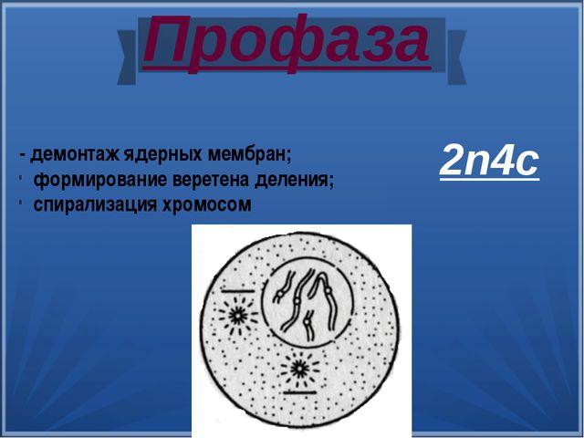 Профаза - демонтаж ядерных мембран; формирование веретена деления; спирализац...
