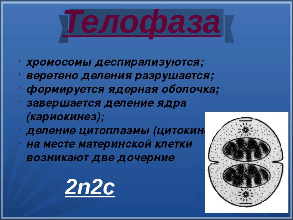 Телофаза хромосомы деспирализуются; веретено деления разрушается; формируетс...