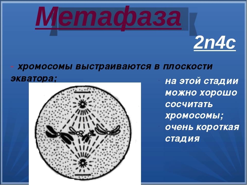 Метафаза - хромосомы выстраиваются в плоскости экватора; на этой стадии можн...
