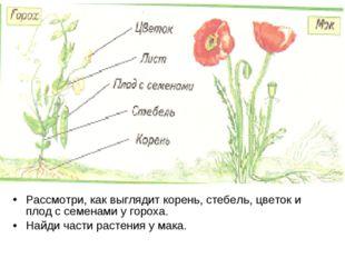 Рассмотри, как выглядит корень, стебель, цветок и плод с семенами у гороха. Н