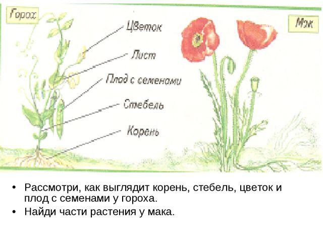 Рассмотри, как выглядит корень, стебель, цветок и плод с семенами у гороха. Н...