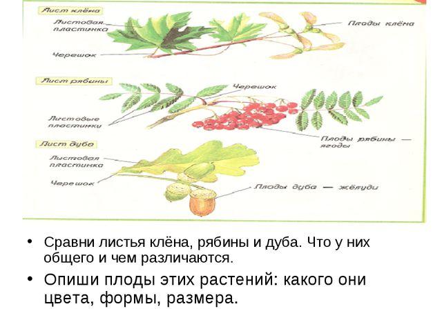 Сравни листья клёна, рябины и дуба. Что у них общего и чем различаются. Опиши...