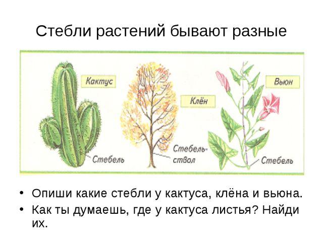 Стебли растений бывают разные Опиши какие стебли у кактуса, клёна и вьюна. Ка...