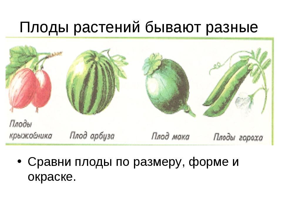 Плоды растений бывают разные Сравни плоды по размеру, форме и окраске.