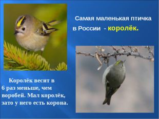 Самая маленькая птичка в России - королёк. Королёк весит в 6 раз меньше, чем