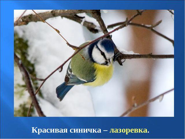 Красивая синичка – лазоревка.