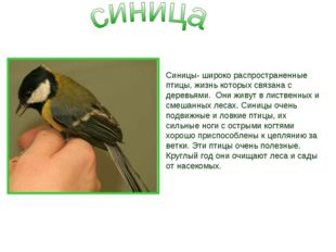 Синицы- широко распространенные птицы, жизнь которых связана с деревьями. Они