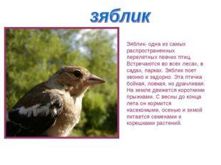 Зяблик- одна из самых распространенных перелетных певчих птиц. Встречаются во