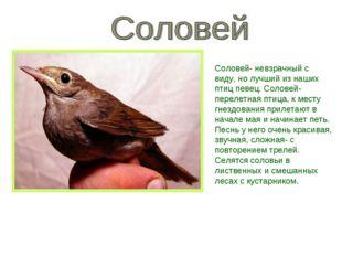 Соловей- невзрачный с виду, но лучший из наших птиц певец. Соловей- перелетна