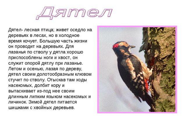 Дятел- лесная птица; живет оседло на деревьях в лесах, но в холодное время ко...