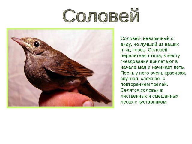 Соловей- невзрачный с виду, но лучший из наших птиц певец. Соловей- перелетна...