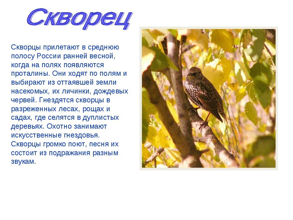 Скворцы прилетают в среднюю полосу России ранней весной, когда на полях появл...