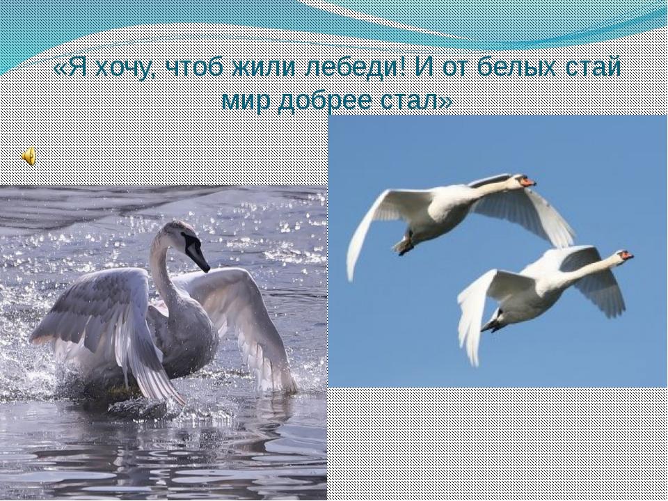«Я хочу, чтоб жили лебеди! И от белых стай мир добрее стал»