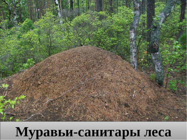Муравьи-санитары леса