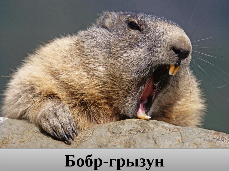 Бобр-грызун