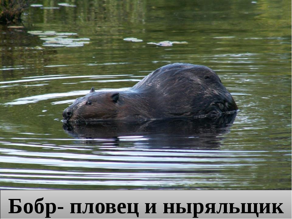 Бобр- пловец и ныряльщик