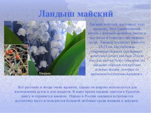 Ландыш майский Ландыш майский- настоящее чудо природы. Этот удивительный цвет