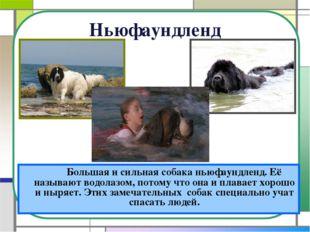 Ньюфаундленд Большая и сильная собака ньюфаундленд. Её называют водолазом,