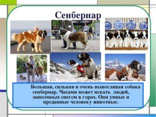 Сенбернар Большая, сильная и очень выносливая собака сенбернар. Часами може