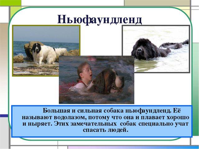 Ньюфаундленд Большая и сильная собака ньюфаундленд. Её называют водолазом,...
