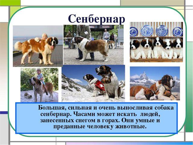 Сенбернар Большая, сильная и очень выносливая собака сенбернар. Часами може...