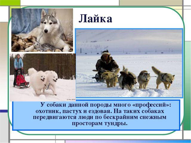 Лайка У собаки данной породы много «профессий»: охотник, пастух и ездовая....