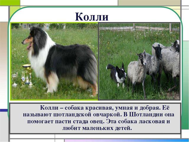 Колли Колли – собака красивая, умная и добрая. Её называют шотландской овч...