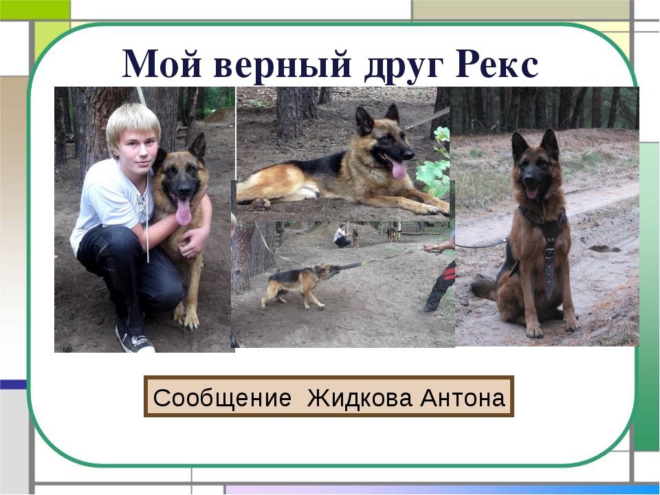 Мой верный друг Рекс Сообщение Жидкова Антона