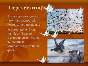 Перелёт птиц Птичья дорога далека и полна опасностей. Очень много пернатых во