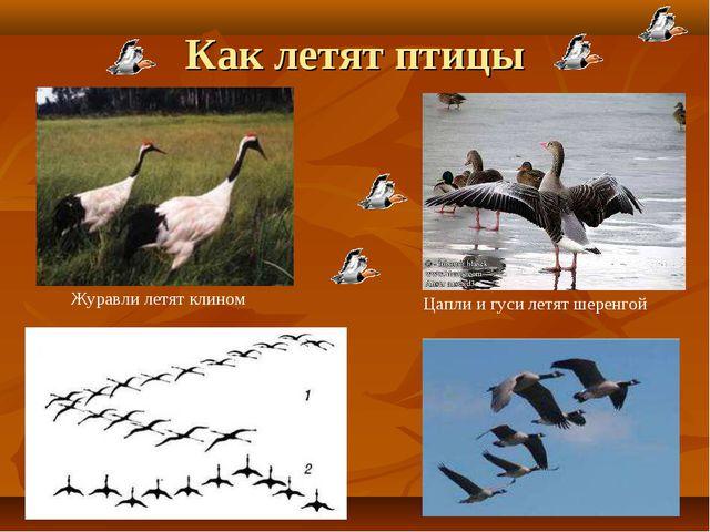 Как летят птицы Журавли летят клином Цапли и гуси летят шеренгой