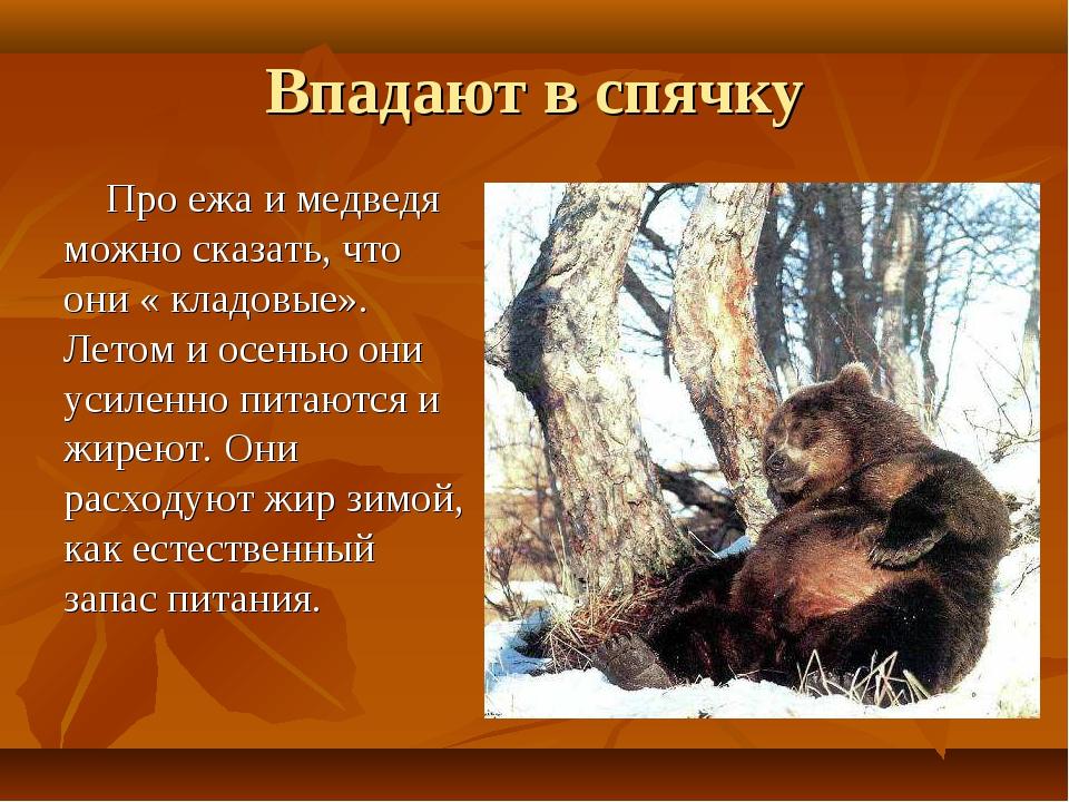 Впадают в спячку Про ежа и медведя можно сказать, что они « кладовые». Летом...