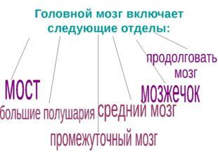 Головной мозг включает следующие отделы: