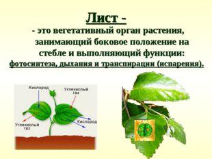 Лист - - это вегетативный орган растения, занимающий боковое положение на сте