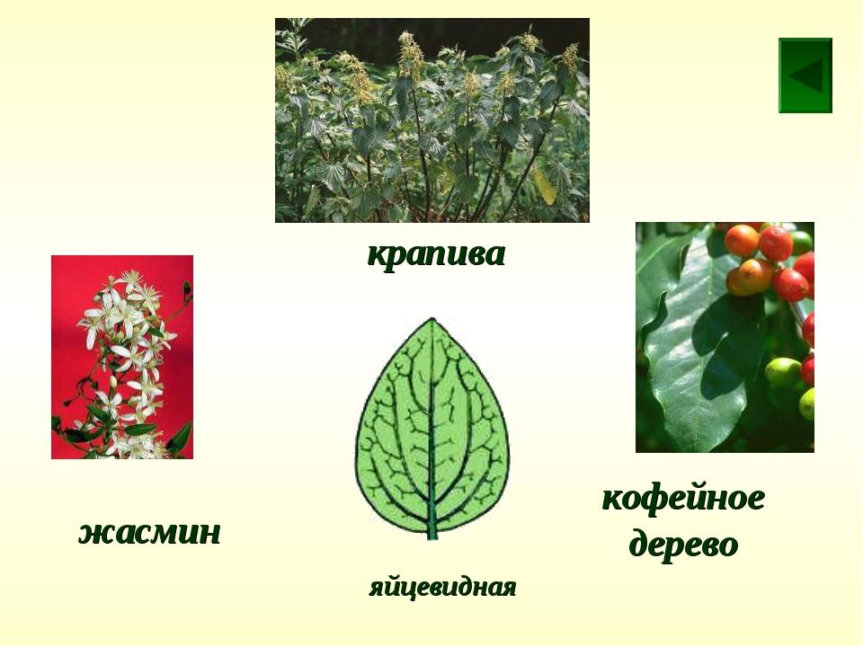 крапива жасмин кофейное дерево яйцевидная