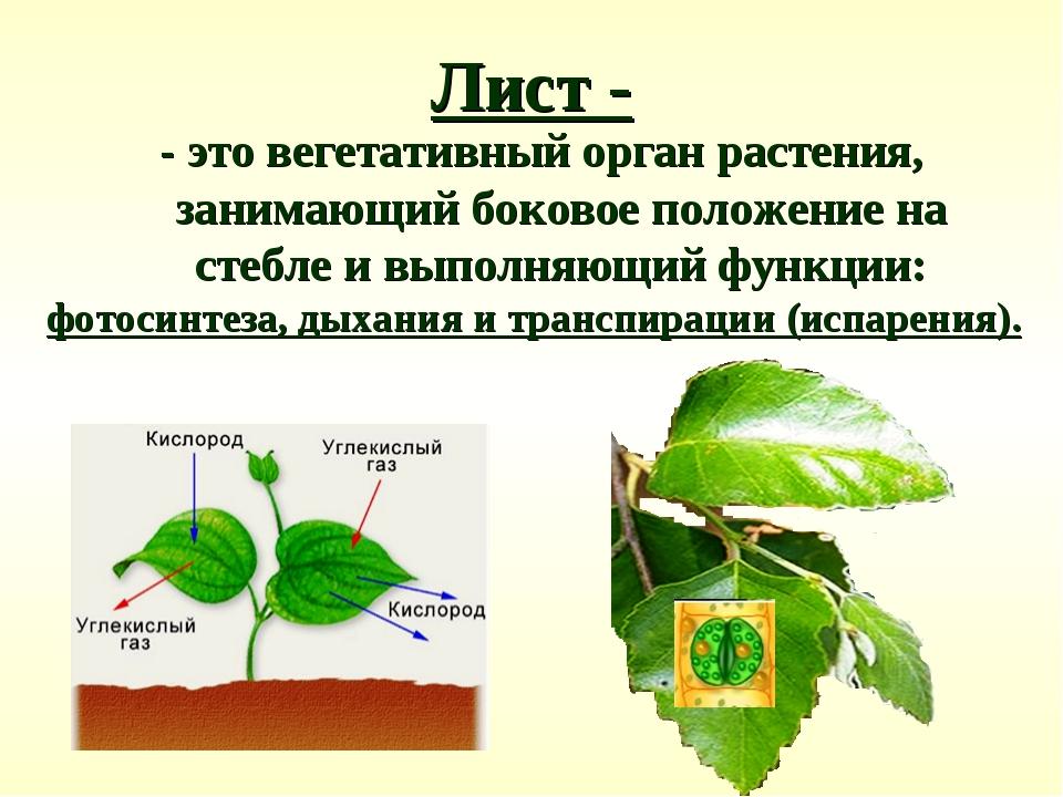 Лист - - это вегетативный орган растения, занимающий боковое положение на сте...