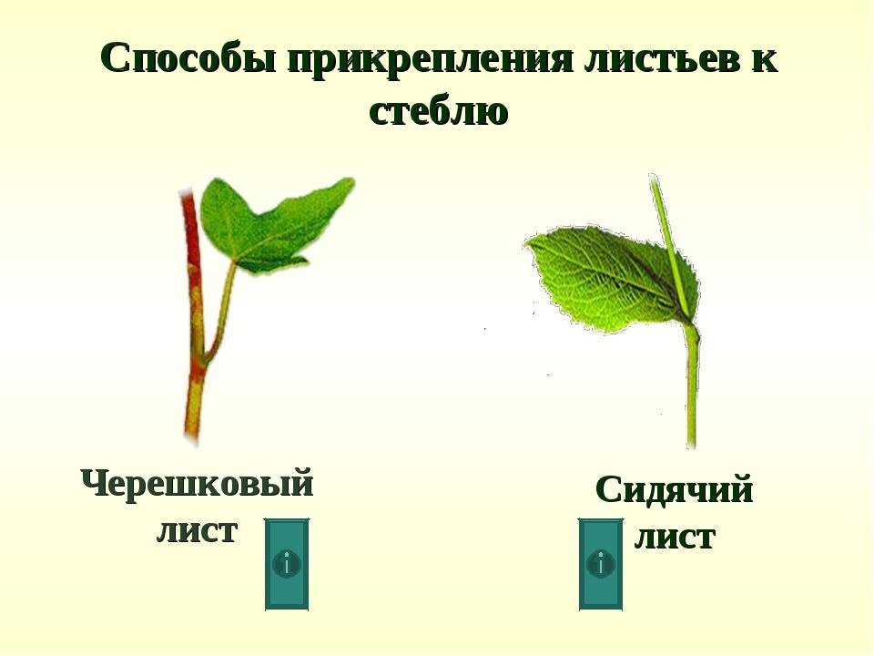 черешковые сидячие влагалищные листья-но3