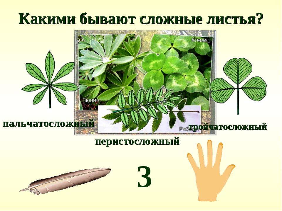 Какими бывают сложные листья? перистосложный пальчатосложный тройчатосложный 3
