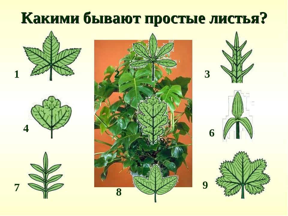 Какими бывают простые листья? 2 1 4 3 6 5 8 7 9