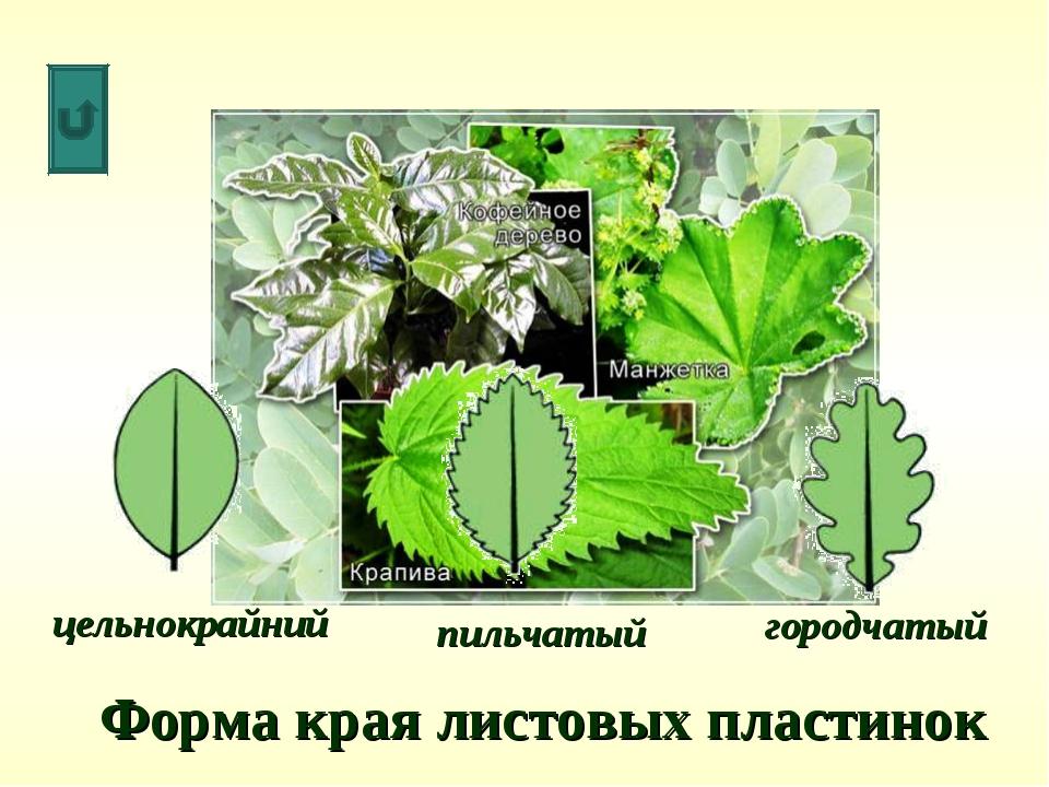 Форма края листовых пластинок цельнокрайний пильчатый городчатый