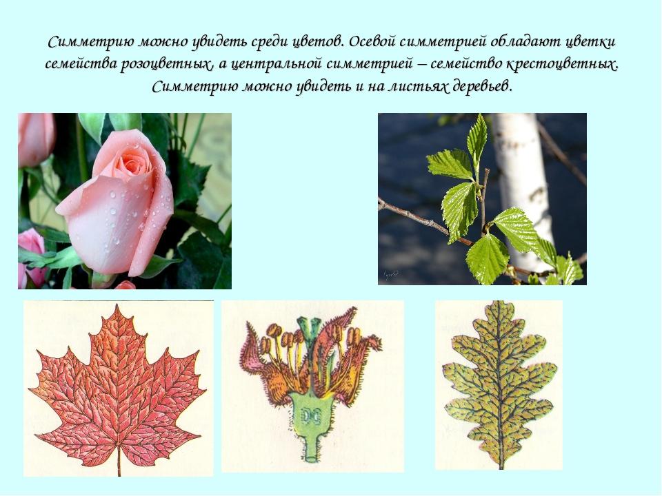 Симметрию можно увидеть среди цветов. Осевой симметрией обладают цветки семей...
