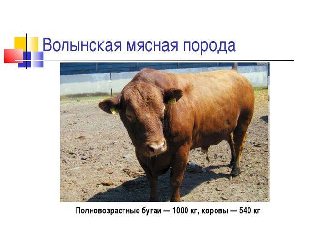 Волынская мясная порода Полновозрастные бугаи — 1000 кг, коровы — 540 кг
