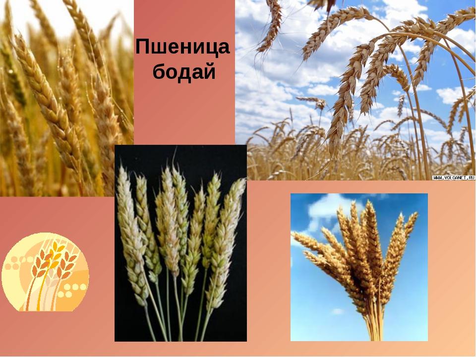 Пшеница бодай