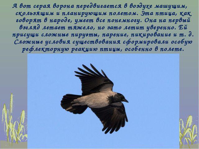 А вот серая ворона передвигается в воздухе машущим, скользящим и планирующим...